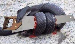 snake biting saw